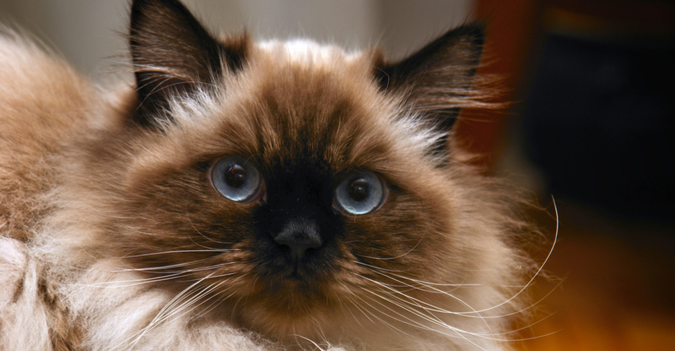 Blue-eyed, fluffy Himalayan cat.