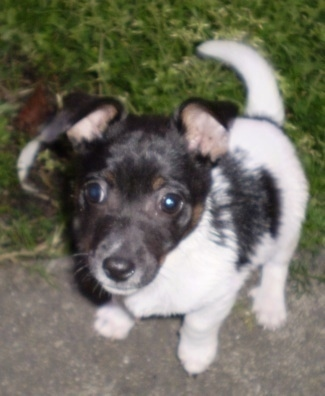 View from the top looking down - A white and black with brown Miniature Fox Terrier puppy is sitting with its back end in grass and front end on a sidewalk looking up.