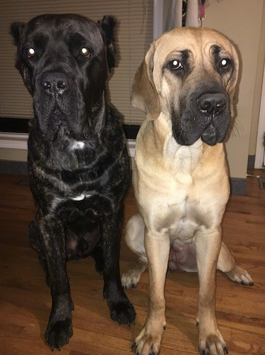 Two extra large breed dogs, black brindle and fawn with a black mask, both with muscular bodies and huge heads sitting side by side inside of a house on a hardwood floor