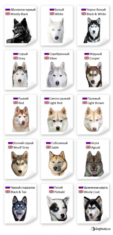 All colors of the Siberian Husky