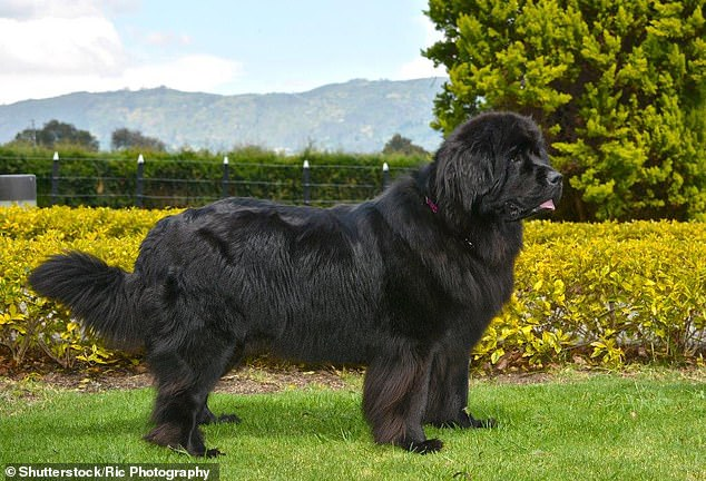 Newfoundland dogs cost owners on average £5,276 a year - making them the most expensive breed