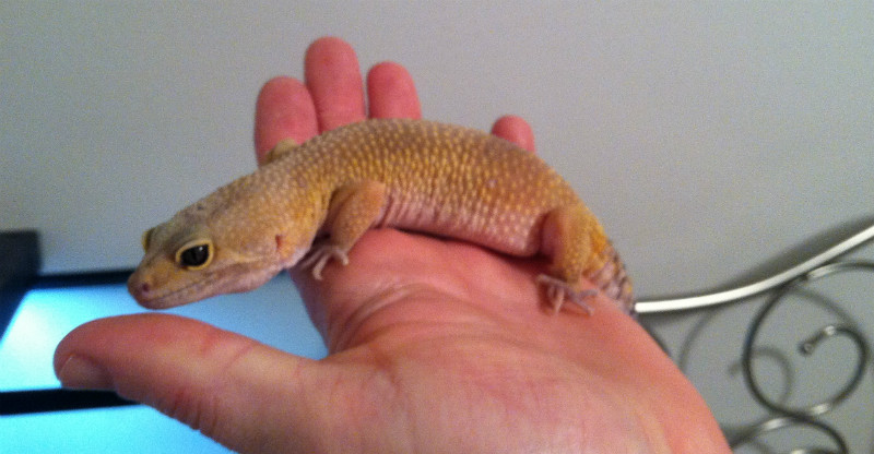 Hand Tame Leopard Gecko