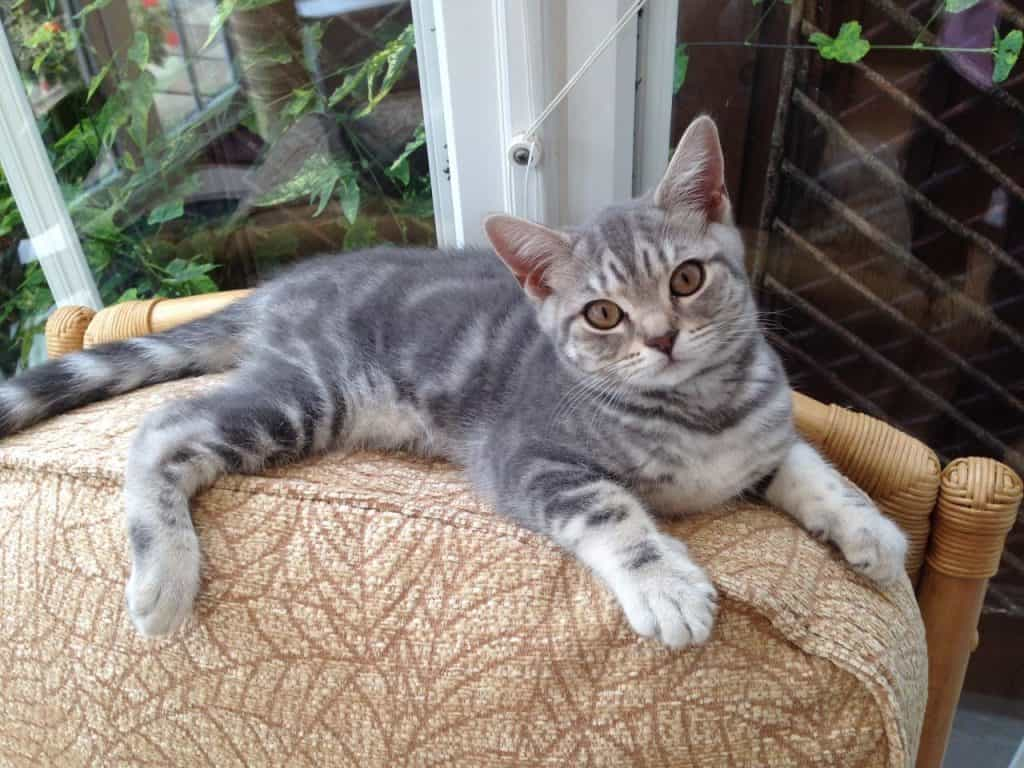 blue-silver-tabby-british-shorthair