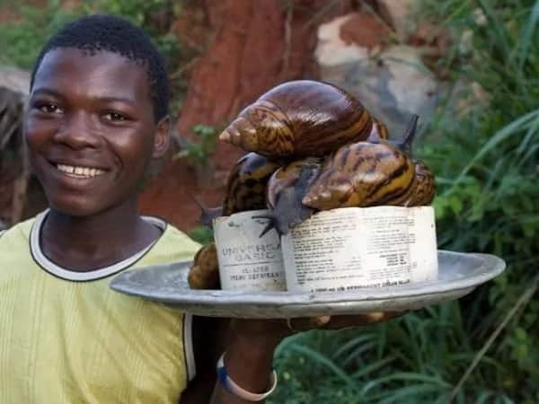 How to rear snail at home in Nigeria