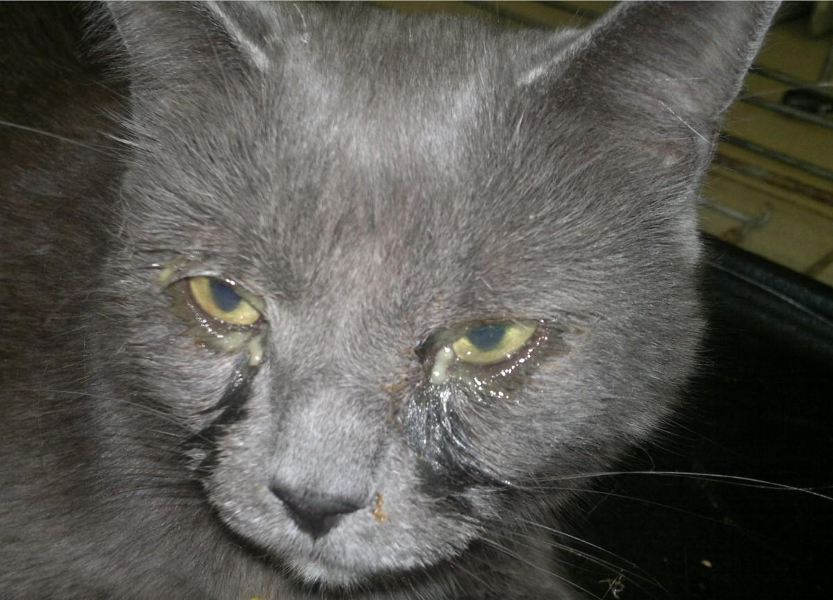 можно ли кошкам протирать глаза чаем