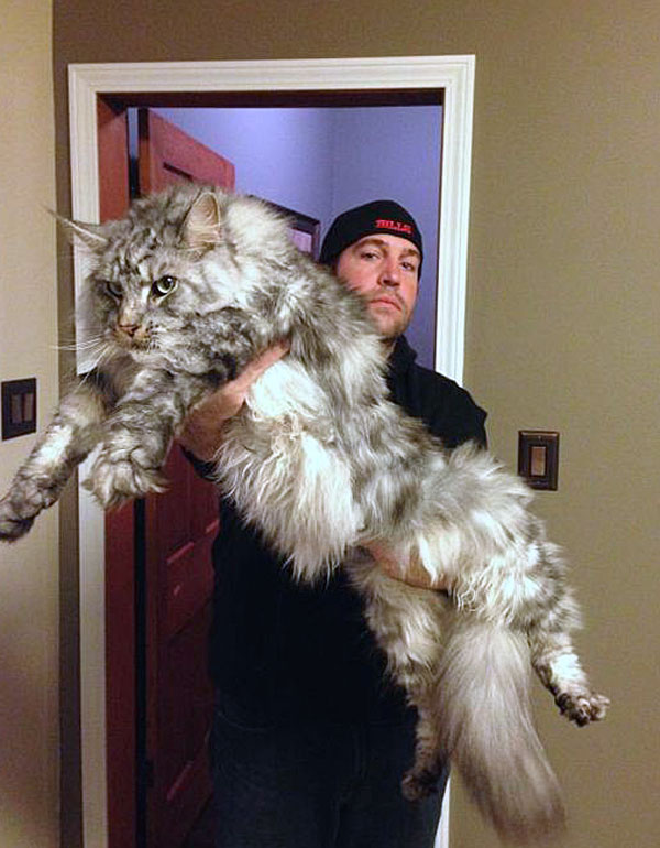 Picture of monster Maine Coon