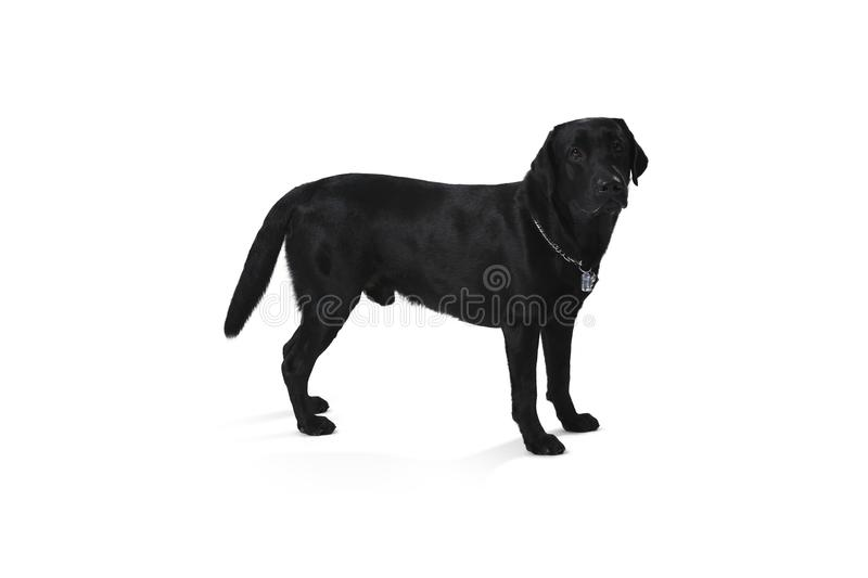 Black labrador retriever puppy 1 year old, standing isolated on stock images