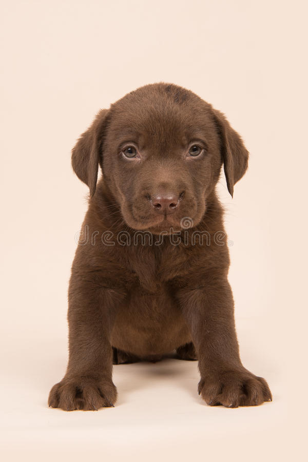 Chocolate brown labrador retriever puppy sitting on a beige background stock image