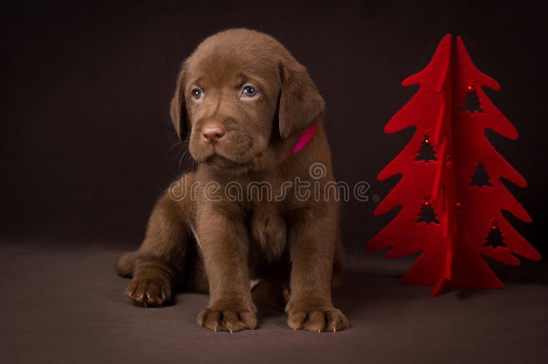 Chocolate labrador puppy sitting on brown stock image