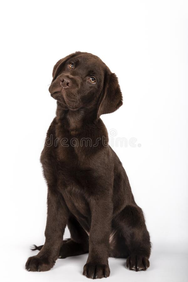 Funny puppy of 3 months old chocolate colored labrador breed sitting looking attentively towards camera on white background royalty free stock image