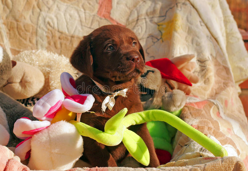 Happy chocolate labrador puppy with toys royalty free stock photos