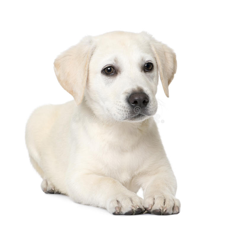Labrador puppy (4 month old). Cream Labrador puppy, lying down (4 month old) in front of a white background stock photography
