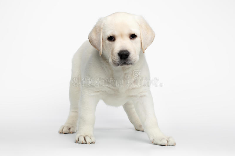 Labrador puppy on white background royalty free stock photography