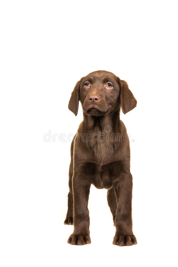 Pretty standing brown labrador retriever puppy seen from the fro royalty free stock photos