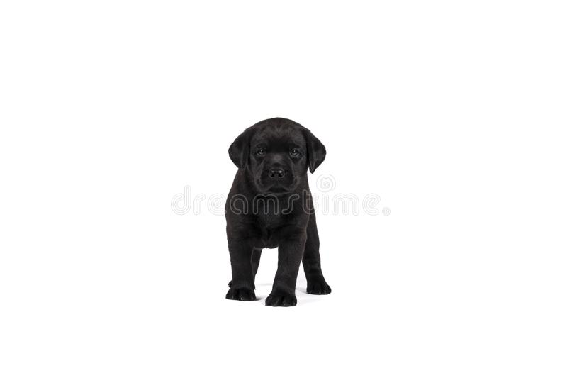 A 5 week old labrador puppy isolated on a white background standing royalty free stock images