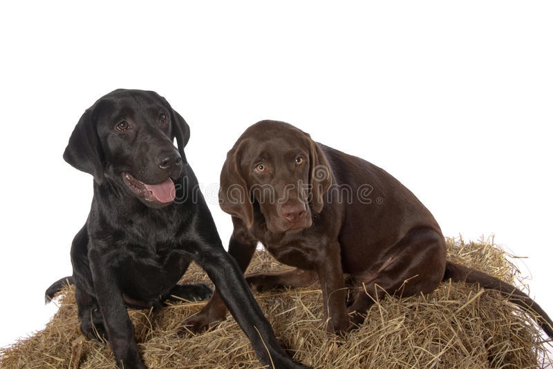 Young Chocolate Black Labrador Retriever puppies. Playful young Chocolate 3-mth old and Black 4-month Labrador retriever puppies pose on a bail of hay.. In royalty free stock images