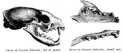 Skull and dentition, as illustrated in Gervais
