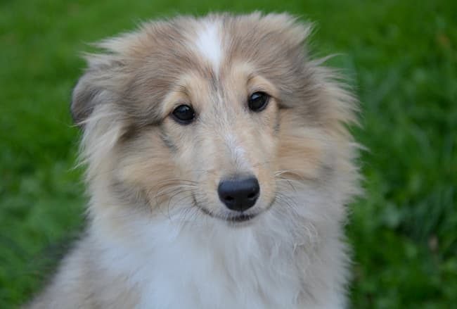 Nervous Sheltie puppy